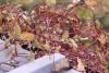 Ivy on roof, Takumar 3.5 / 200