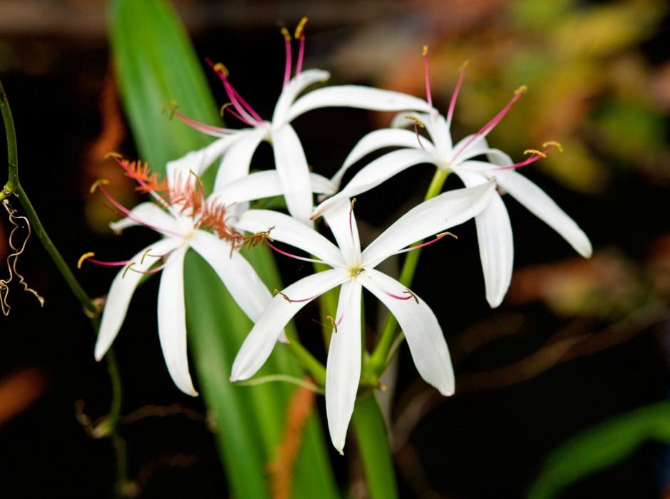 Ghost Orchid Corkscrew Swamp Sanctuary