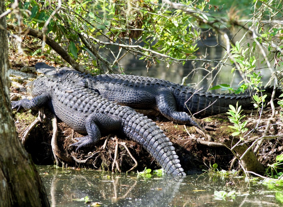 Alligators Corkscrew Swamp Sanctuary