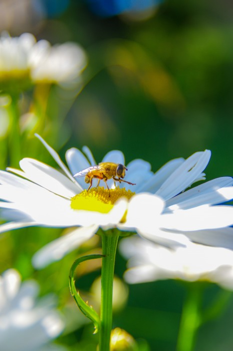 A bee, couple flowers and lots of chromatic aberration