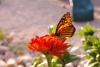 Red Zinnia Monarch
