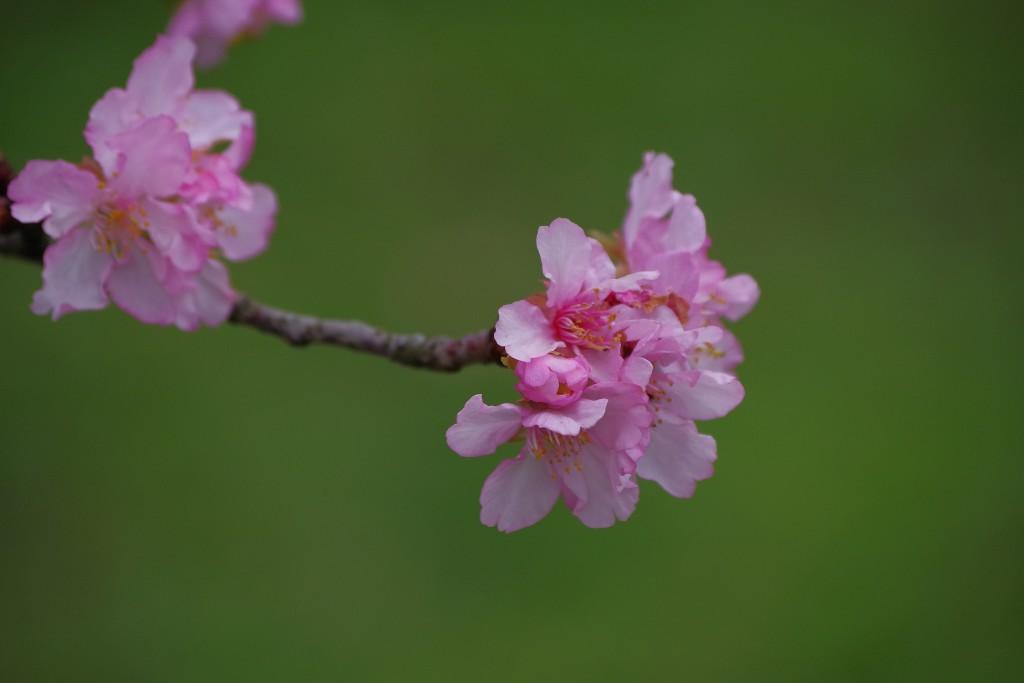 Sakura at NCU