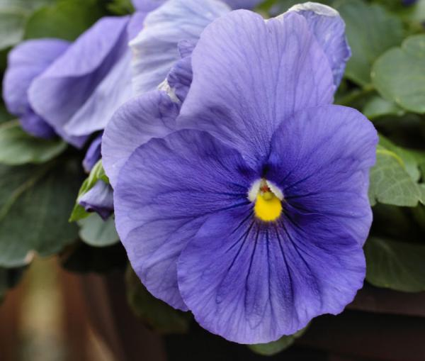 Pansy in Flower Pot