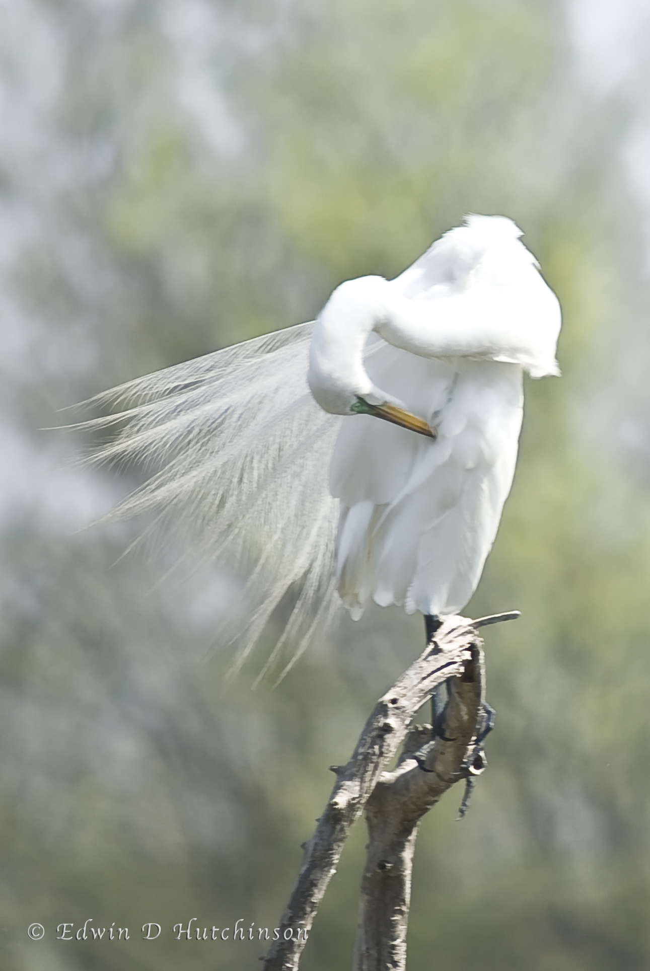 Great white egret painting pentax user photo gallery for White heron paint