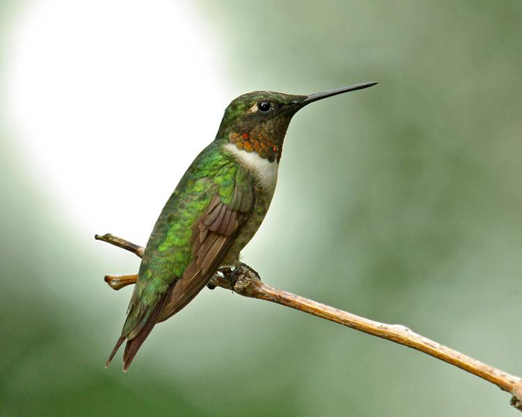 Male Ruby-Throated Hummingbird Portrait