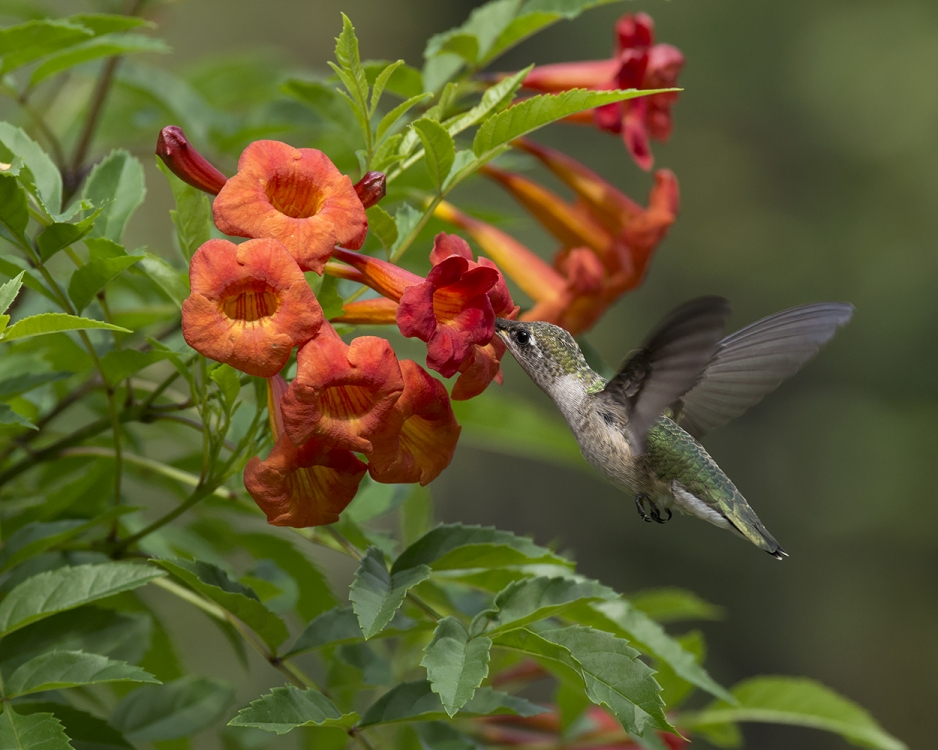 Ruby-throated Hummingbrd