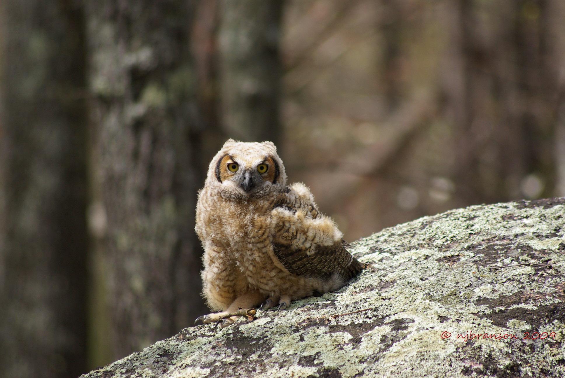 Baby horned owl photo