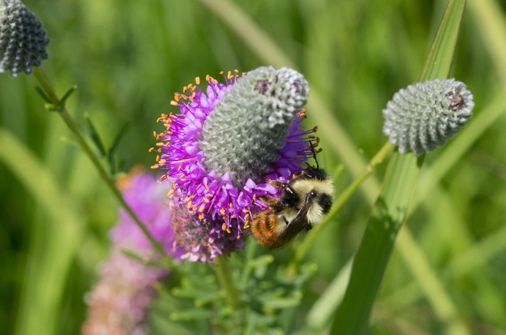Very Rare Bumble Bee at Fermilab