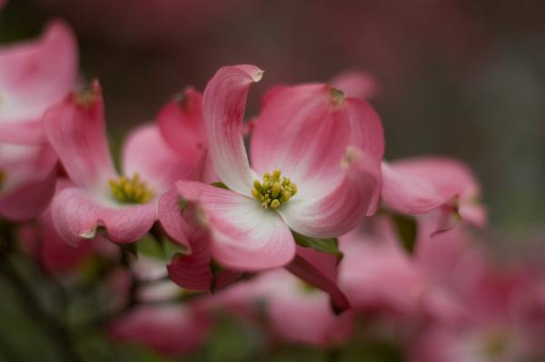 Dogwood in bloom, Pentax-M resurrected