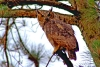 Owl Posing 2
