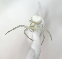 White crab spider in a rose