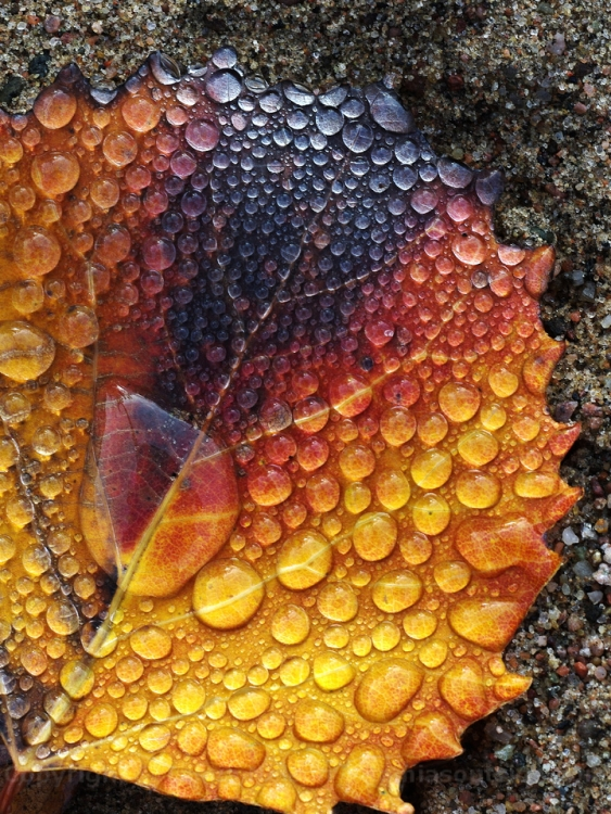 Autumn Colors in a Big-Toothed Aspen Leaf