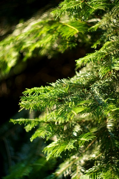 Pine Tree with a Russian bokeh