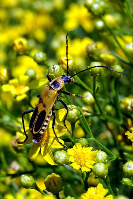 Railfan s Photos - September 24  2006 -  quot Goldenrod Soldier BeetleGoldenrod Soldier Beetle