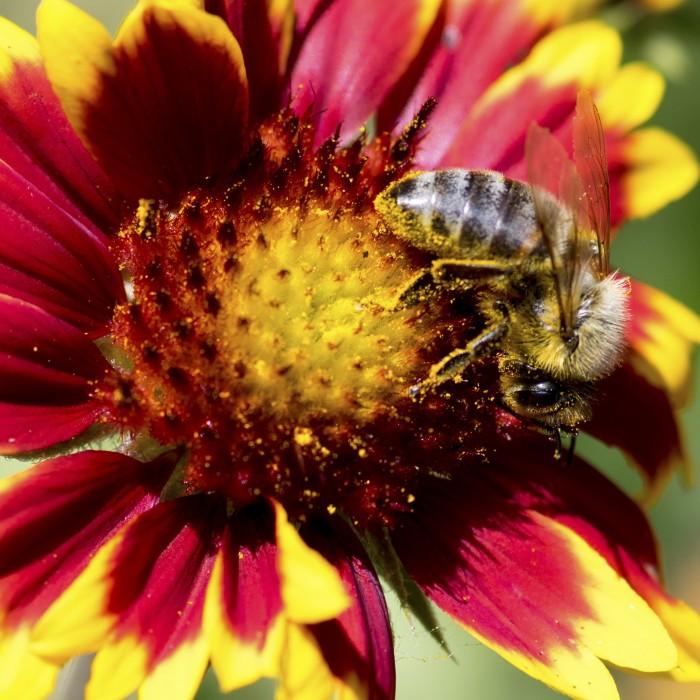 A dedicated worker bee