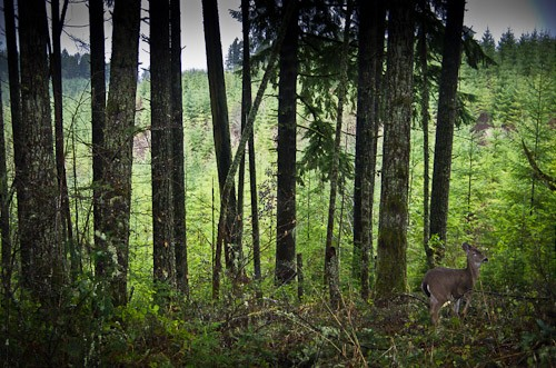 Doe by the old clearcut