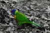Rainbow Lorikeet in leaves