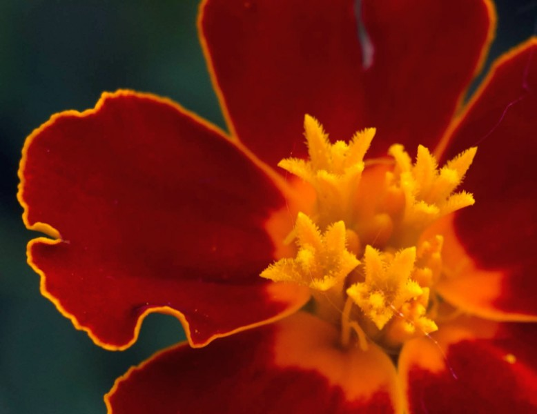 Close up of red flower