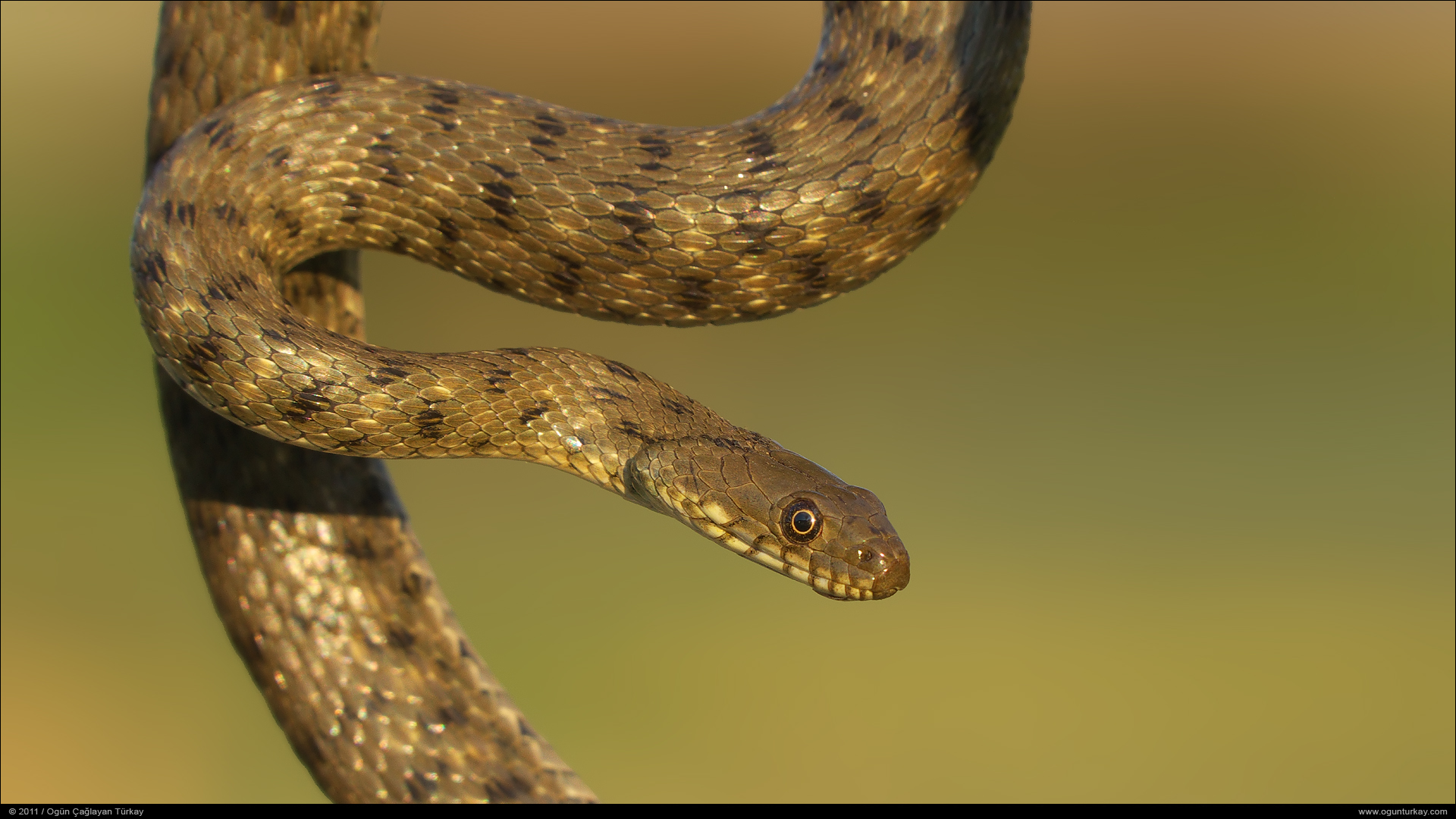 TrekNature | Dice Snake - Natrix tessellata Photo