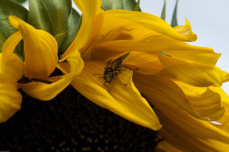 Wasp on swiss sunflower