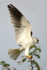 Black-shouldered Kite {Elanus axillaris}
