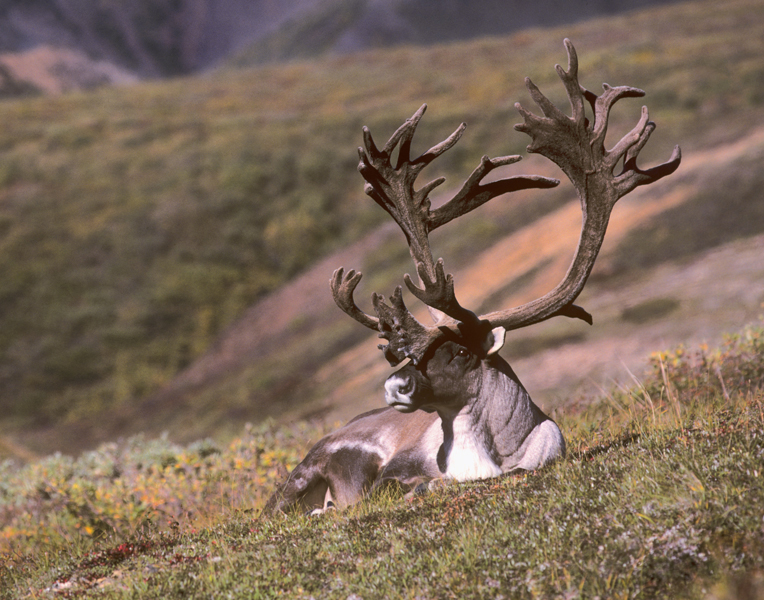 http://www.pentaxforums.com/gallery/images/3063/1_Barren_Ground_Caribou.jpg
