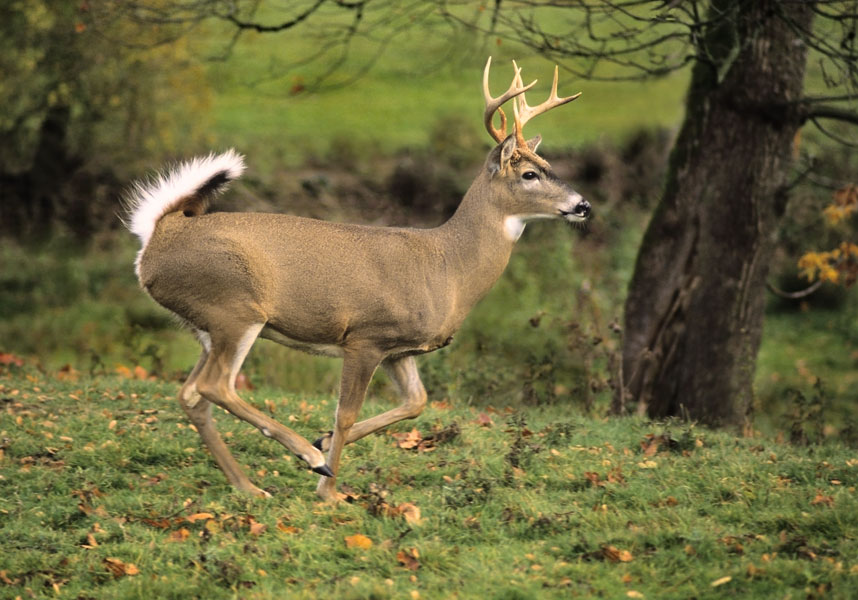 latest animals pics of buck deer collections