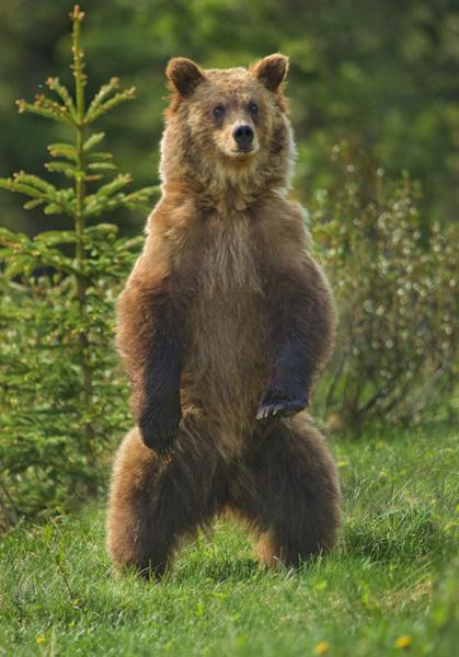 Sub Adult Grizzly Bear Standing