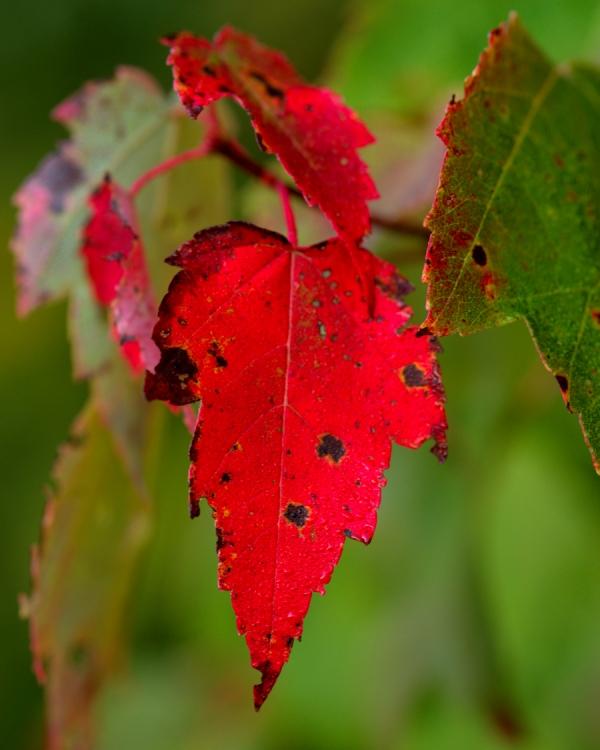 Maple Leaf- Fall, Lake Placid, NY