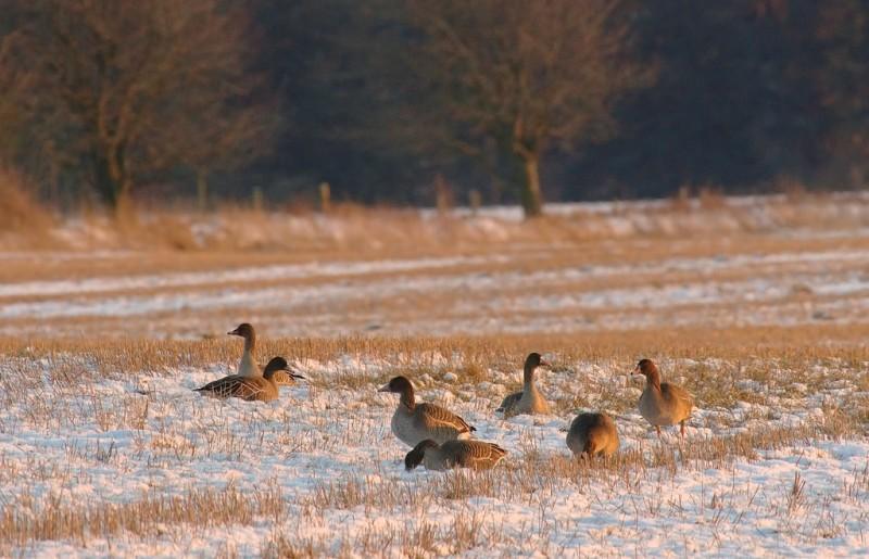 Bean geese