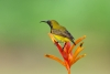 Sunbird on plant