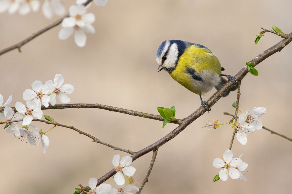 Blue Tit, Spring