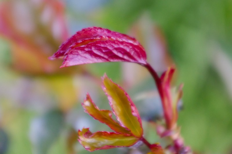 Rose leaf bud in the early morning light
