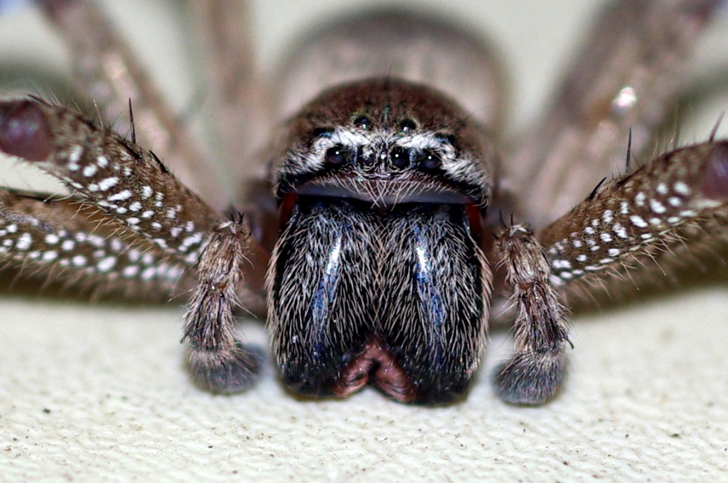 huntsman spider bite. huntsman spider bite.