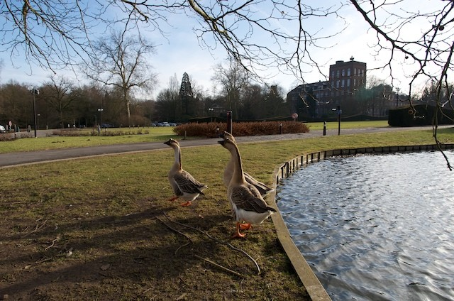 Geese in Leuven