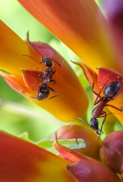 Carpenter Ants on Trumpet Creepers