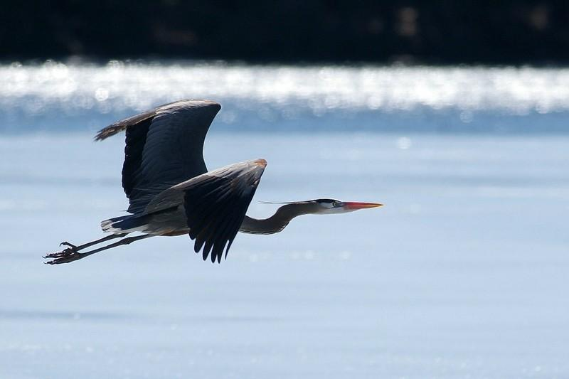 Heron Over Ice