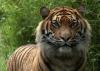 Sumatraanse tiger