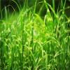Tiger Grass