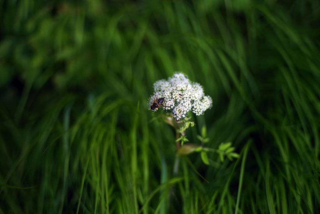 Hooverfly on white flower