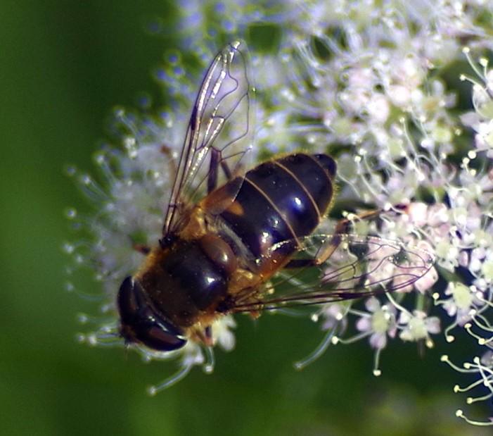 Hoowerfly on white flower