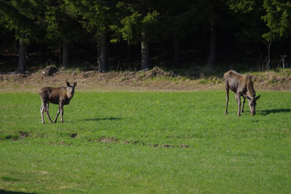 Elks grazing in the field