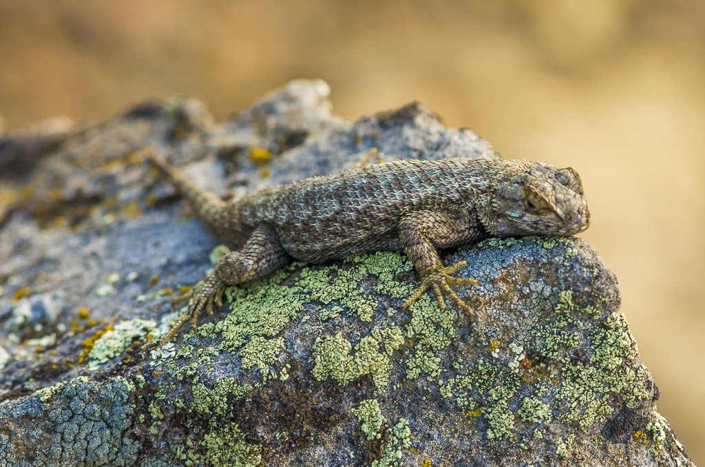 Lizard at SMith Rock Oregon Near Bend OR