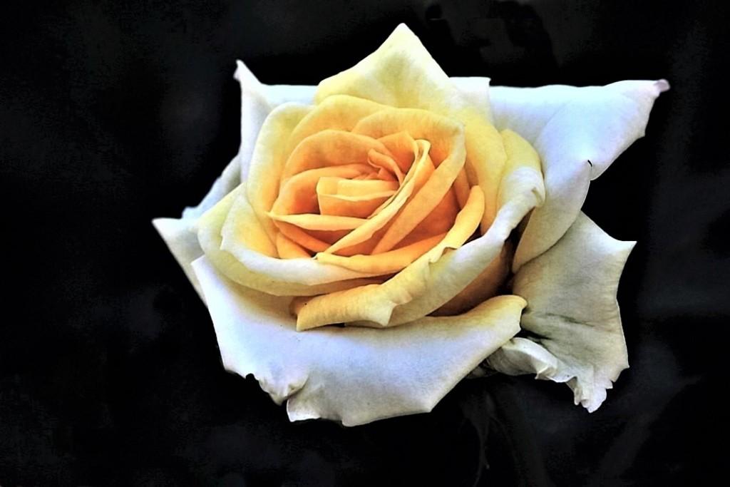 Golden White Beauty.