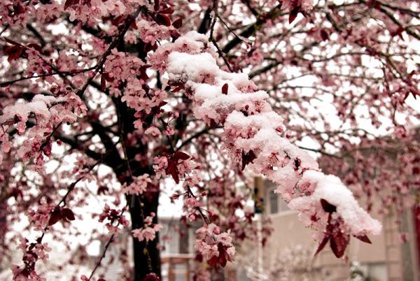 Snow Cherry