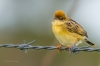 Golden-headed Cisticola on a barbed wire fence