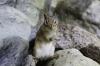 Chipmunk on the Rocks