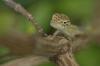 Young Garden Fence Lizard