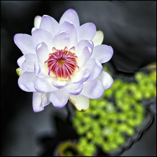 Nymphaea violacea x colorata