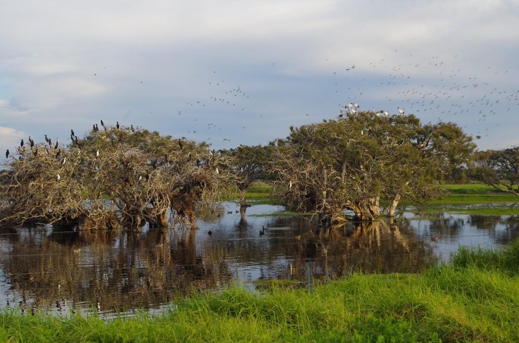 nesting ibis